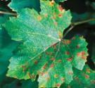 Downy Mildew on top of leaf