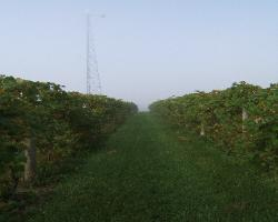 Two Willows Vineyard in the fog!